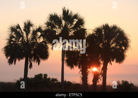 Central Florida sunrise with palm trees in the foreground - Stock Photo