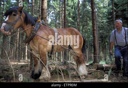 BEL, Belgium, the forest of Raeren, forestry work with horses, workhorse.  BEL, Belgien, Raerener Wald, Waldarbeiten - Stock Photo
