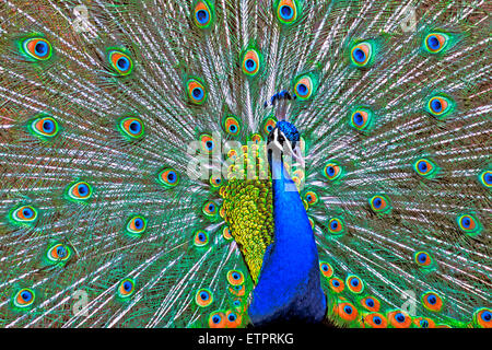 Male Peacock displaying feathers - Stock Photo