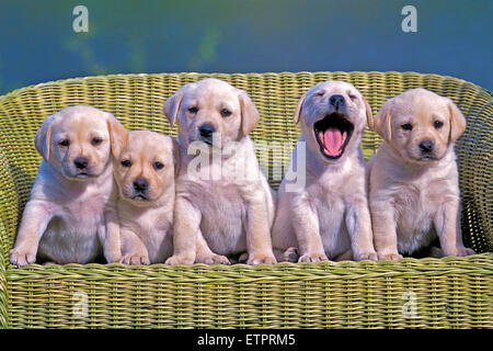 Five Labrador Retriever puppies, eight weeks old posing in wicker chair - Stock Photo