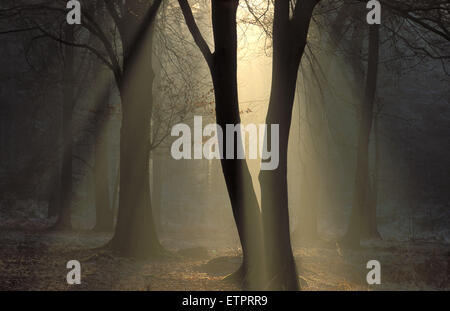 BEL, Belgium, Eastbelgium, forest south fof the city of Eupen, Hautes Fagnes.  BEL, Belgien, Ostbelgien, Wald suedlich - Stock Photo
