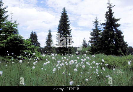 BEL, Belgium, Eastbelgium, Hautes Fagnes, Hohes Venn, cotton grass and spruces.  BEL, Belgien, Ostbelgien, Hohes - Stock Photo