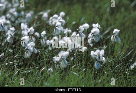 BEL, Belgium, Eastbelgium, Hautes Fagnes, Hohes Venn, cotton grass.  BEL, Belgien, Ostbelgien, Hohes Venn, Baumwollgras. - Stock Photo