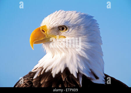 Head of mature Bald Eagle portrait closeup ( Haliaetetus leucocephalus) - Stock Photo