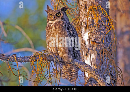 Great Horned Owl sitting in dead spruce tree - Stock Photo