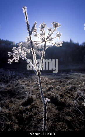 BEL, Belgium, Eastbelgium, winter at the river Our valley near the village of Ouren, hoar frost on a plant.  BEL, - Stock Photo