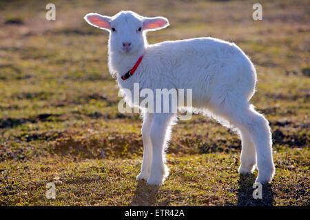 Portrait of  few week old Lamb standing in meadow - Stock Photo