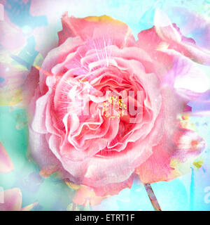 A Floral Montage of a mallow and a rose in powerful pastels, photograph, layer work, - Stock Photo