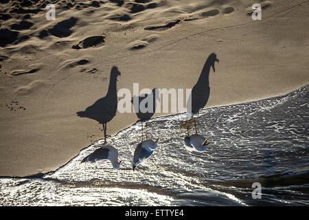 Germany, Baltic Sea, seagulls on a beach at sunrise - Stock Photo