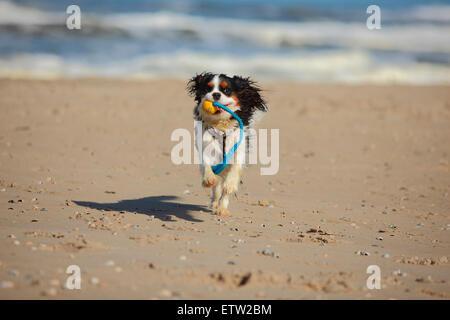 Netherlands, Texel, Cavalier King Charles Spaniel retrieving dog toy on the beach - Stock Photo