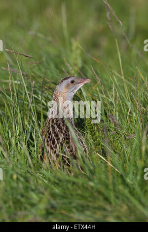 Corncrake (Crex crex).  Appearing from amongst farmed meadow vegetation, stlll to be cut for hay. Iona. Inner Hebrides. - Stock Photo