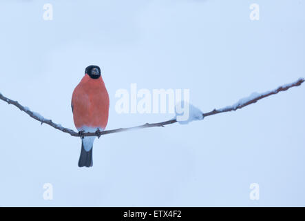 Eurasian Bullfinch, Pyrrhula pyrrhula, sitting on a branch with snow - Stock Photo