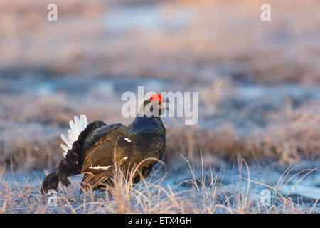 A close up photo of Black grouse, Lyrurus tetrix, blackcock courtship display in Boden, norrbotten, Sweden - Stock Photo