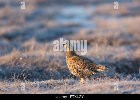 A close up photo of Black grouse female, Lyrurus tetrix, blackcock courtship display in Boden, norrbotten, Sweden - Stock Photo