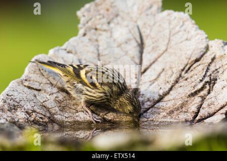 Eurasian Siskin, Carduelis spinus, drinking water - Stock Photo