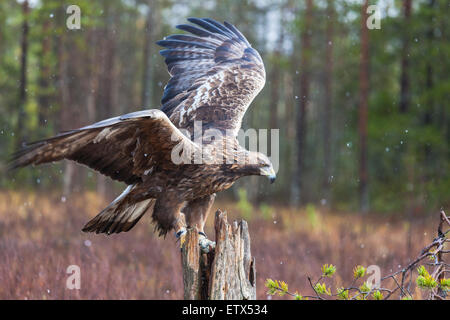 Golden eagle sitting on a trunk and flapping his wings in sweden, Scandinavia