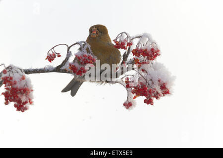 Pine Grosbeak sitting in a snowy Rowan tree and eating Rowan berries - Stock Photo
