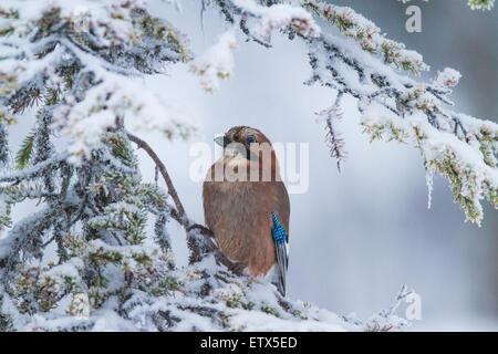 Eurasian Jay , Garrulus glandarius, sitting in a snowy spruce in Gällivare, swedish lapland, Sweden, scandinavia - Stock Photo