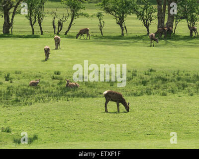 Herd red deer graze on Locranza golf course Isle of Arran Scotland  the largest wild animal on Arran and clearly - Stock Photo