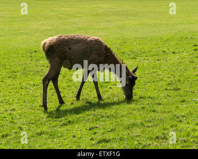 Young male Red deer grazing on Lochranza Golf Course Isle of Arran Scotland  the largest wild animal on Arran and - Stock Photo