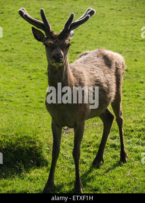 Young red deer stag with velvet on antlers Isle of Arran Scotland  the largest wild animal on Arran and clearly - Stock Photo