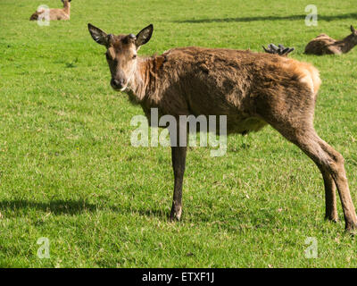Young red deer stag with antlers just growing Isle of Arran Scotland the largest wild animal on Arran and clearly - Stock Photo