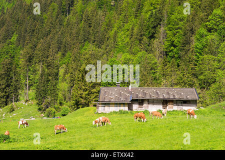 Landscape with cows near Spitzingsee with cows in the Alps in Bavaria, Germany - Stock Photo