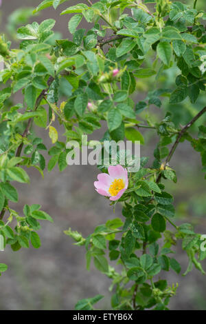 Rosa canina. Dog Rose flower in an English garden - Stock Photo