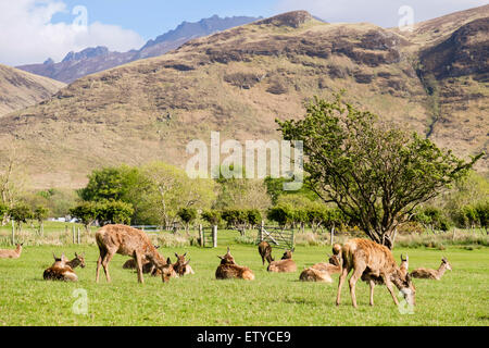 Red deer hinds (Cervus elaphus) grazing on golf course in valley. Lochranza Isle of Arran Western Isles  Scotland - Stock Photo