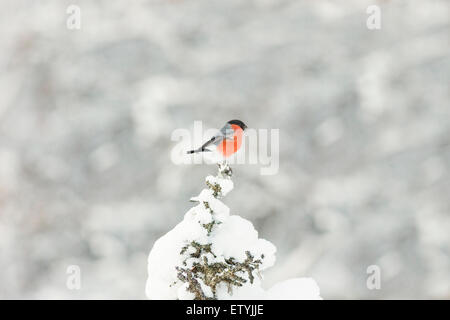 Eurasian Bullfinch sitting in top of a snowy spruce in gällivare, Swedish lapland, Scandinavia - Stock Photo
