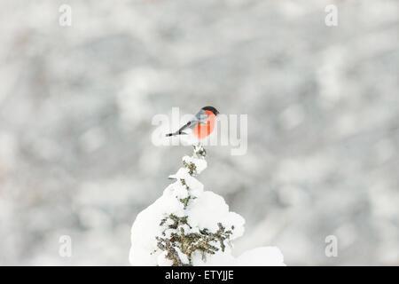 Eurasian Bullfinch sitting in top of a snowy spruce in gällivare, Swedish lapland, Scandinavia - Stock Photo