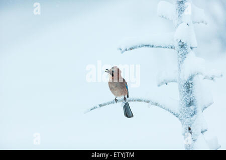 Eurasian Jay, Garrulus glandarius, sitting in a frosty and snowy old tree, looks like he is singing - Stock Photo