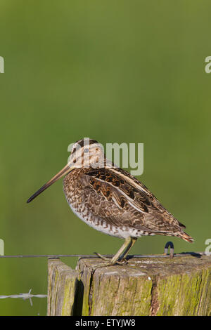 Common snipe (Gallinago gallinago) perched on fence post - Stock Photo