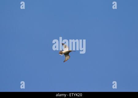 Common snipe (Gallinago gallinago) in flight against blue sky - Stock Photo