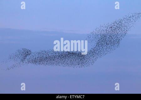 European starling murmuration / large flock of common starlings (Sturnus vulgaris) in flight at sunset - Stock Photo