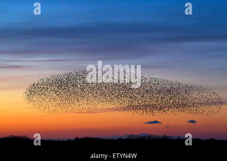 European starling murmuration / large flock of common starlings (Sturnus vulgaris) in flight at sunset - Stock Photo