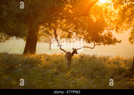 A red deer doe on an early Summer morning in the Richmond Park. - Stock Photo