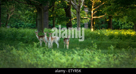 Four deers on an early summer morning in Richmond Park. - Stock Photo