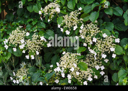 hydrangea anomala petiolaris climbing hydrangea stock. Black Bedroom Furniture Sets. Home Design Ideas