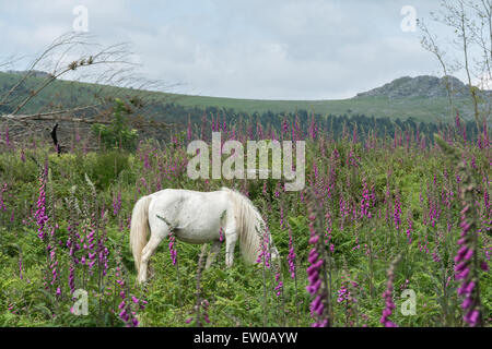 White Dartmoor Pony in field of foxgloves with tor in background - Stock Photo
