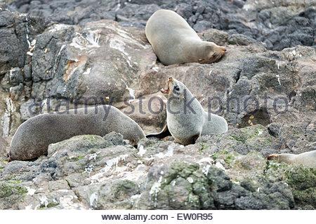 Southern fur seals (Arctocephalus forsteri) at Otago Peninsula, Dunedin, South Island, Otago, New Zealand, - Stock Photo