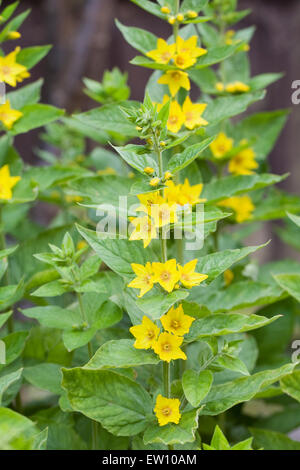 Lysimachia. Loosestrife flowers. - Stock Photo