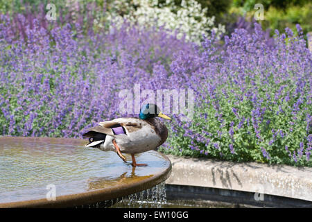 Anas platyrhynchos. Male Mallard duck on a water feature at RHS Wisley gardens. - Stock Photo