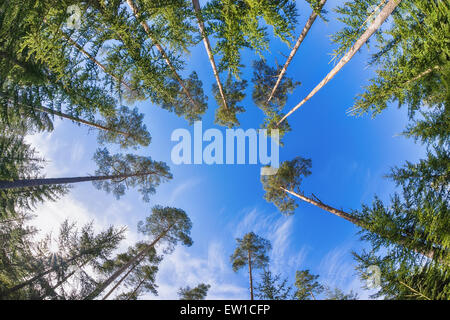 Tall pine tree tops against blue sky and white clouds - Stock Photo