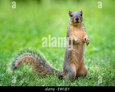 Young Eastern Fox squirrel (Sciurus niger) eating bird seeds in the garden - Stock Photo