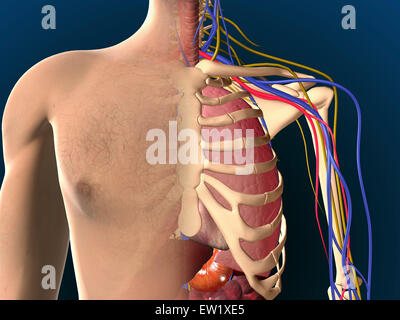 Cutaway view of male chest showing lung. - Stock Photo