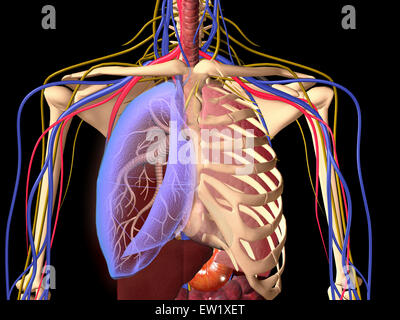 Human skeleton showing a transparent lung with surrounding rib cage and nervous system. - Stock Photo