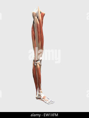 Medical illustration of human leg muscles, bones and joints. - Stock Photo
