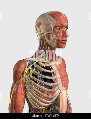 Human upper body showing muscle parts, axial skeleton, veins and nerves. - Stock Photo