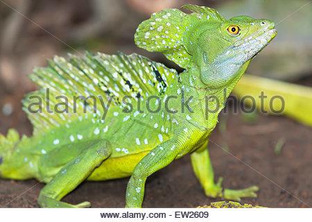 Basilisk lizard (Basiliscus plumifrons), Costa Rica - Stock Photo